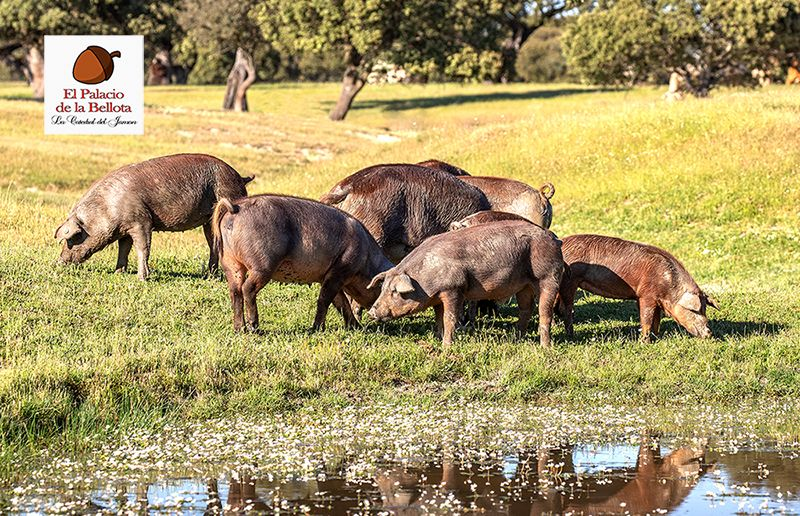 Foto de Cerdos alimentándose libremente